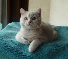 red tabby British Shorthair