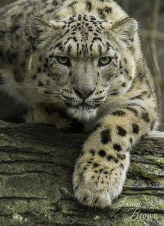 gorgeous snow leopard...