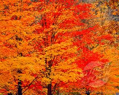 Vibrant Maples in Fall  Worlds End State Park  Loyalsock River  Appalachian Mountains  Pennsylvania (1912-1687 / 137-020-0062-s © Tom Till)