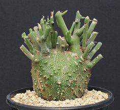 Adenia globosa ssp. globosa