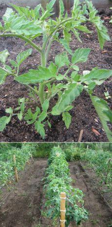 Способ выращивания помидоров — 6 соток
