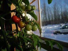 Gardening is fun, but if you don't have a garden or if you live in a cold climate, growing your own vegetables might seem impossible.Nevertheless, there are alternative solutions if you want to eat your organic veggies no matter where you live. If you don't have a garden where to build a greenhouse, you can …