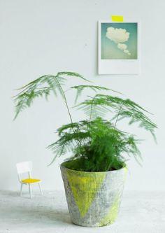 Asparagus Plumosus /Feder-Spargel