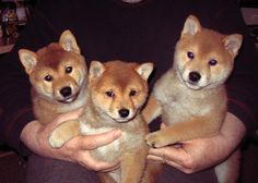 Sweet Shiba babies!