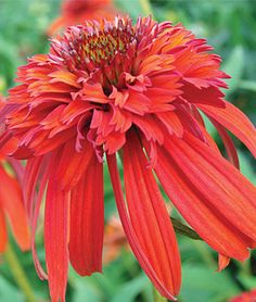 Echinacea, Hot Papaya.A notable new coneflower with hot orange blooms. Just the right tone to add to a sizzling full sun summer garden.