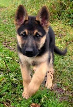 Wicked Training Your German Shepherd Dog Ideas. Mind Blowing Training Your German Shepherd Dog Ideas. Cute Baby Animals, Animals And Pets, Funny Animals, Cute Puppies, Cute Dogs, Dogs And Puppies, Doggies, Corgi Puppies, Toy Dogs