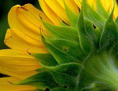 """Nature Photography - Barbara Sammons...""""Sunflower Glory"""""""