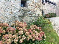 """트위터 @9_track 님.  """"요건 독일에서 거주하는 제 베프가 찍어 보낸 사진이예요. 수국과 비슷하긴 한데 꽃이름을 모르겠다며:-) #평화꽃 """""""