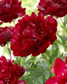 Paeonia 'Buckeye Belle'- Love it! Amazing Gardens, Beautiful Gardens, Beautiful Flowers, Red Flowers, Colorful Flowers, Orchid Tree, Planting Plan, Herbaceous Perennials, Peonies Garden