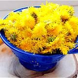 Medicinal Dandelion Tea Recipes and a Bitter Cordial to aid digestion