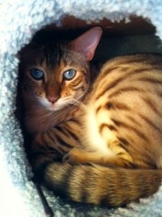 Love bengal cats