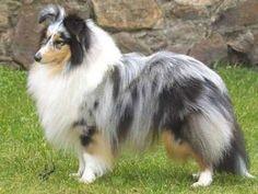 Pastor de las islas Shetland | Cuidar de tu mascota es facilisimo.com