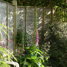 5 June 2015: Evening foxgloves.