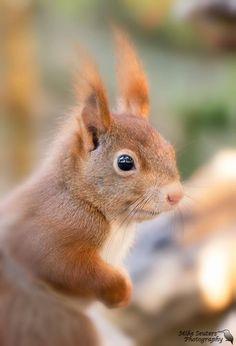 omkijkend - Zoogdieren (bever, vos, muis) - Eekhoorn