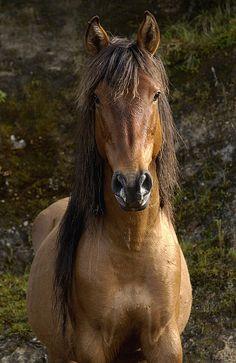 Wild Horse Equus Caballus In Open
