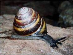 Mitchells Rain Forest Snail Thersites mitchellae
