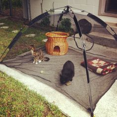 Cat tent! & cat tent with toys Plush cat tent with various hanging toys. | art ...