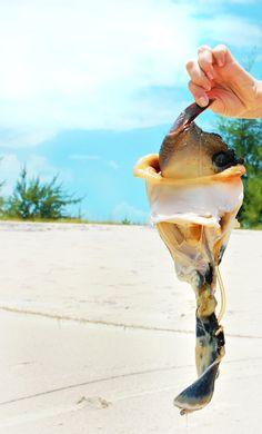Taste // Turks & Caicos Conch fresh from the ocean!