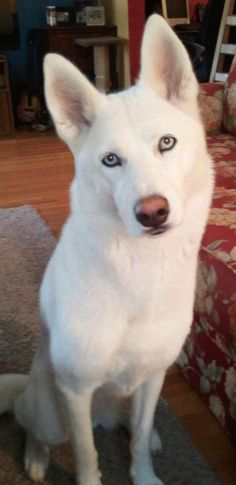 Wonderful All About The Siberian Husky Ideas. Prodigious All About The Siberian Husky Ideas. White Siberian Husky, Siberian Husky Puppies, Siberian Huskies, All White Husky, White Husky Puppy, Corgi Puppies, Alaskan Husky, Raza Husky, Husky Mignon