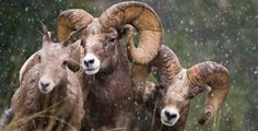 Big Horn Sheep, High Country of  Montana - would love to hunt some day but very expensive and a very physical hunt!