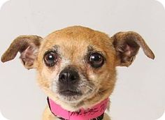 Pictures of Krista a Chihuahua for adoption in Colorado Springs, CO who needs a loving home.