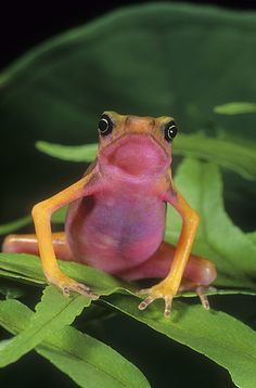 ☆ Pink Bellie Harlequin Frog :¦: Gail Melville Shumway Photography ☆