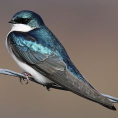 Male Tree Swallow Common summer resident in the region. Arrives by February, begins to depart by July. Most are gone before September. (Source: Birds of Southwestern British Columbia)