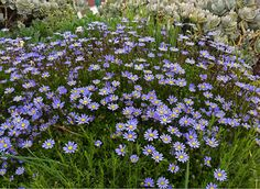 """Felicia aethiopica 'Tight & Tidy' is a highly improved form of (usually 3' tall) """"Blue Marguerite Daisy"""" that stays a dense 16"""" high & 30"""" wide. Bursting into a mass of rich blue daisies in Spring – it just keeps going all the way to Fall when deadheaded."""