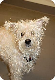 Adopt a Pet :: Jonas - Smyrna, GA - Maltese Mix.  What an adorable dog!