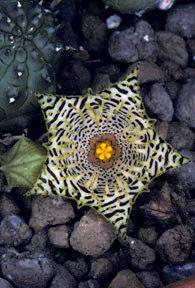 Huernia kennedyana  http://www.flowershots.net