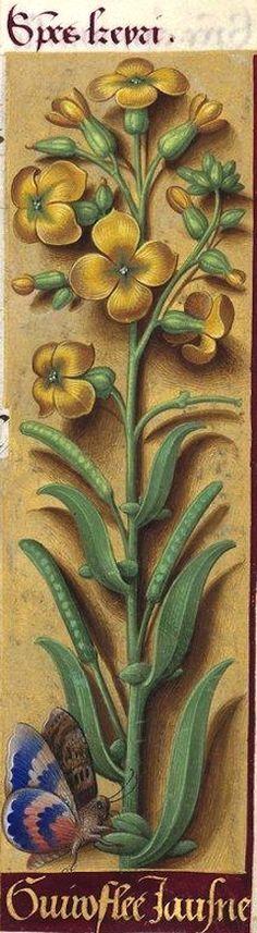 Guiroflee jausne - Species keyri (Cheiranthus cheiri L. = giroflée des murailles) -- Grandes Heures d'Anne de Bretagne, BNF, Ms Latin 9474, 1503-1508, f°82r