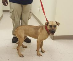 "ROUND ""30664"" - URGENT - Lee County Animal Services in Sanford, NC - 1 year old Female Lab Retriever Mix"