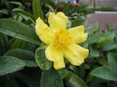 Hibbertia_scandens_orig - Climbing Guinea flower