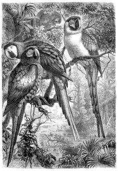 Antique Print Of Parrots