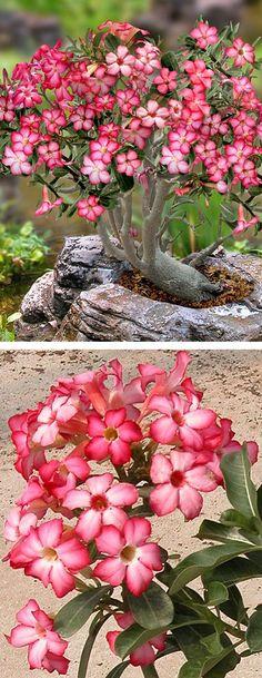 Desert Rose Bonsai