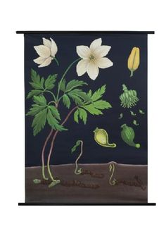 "Anemone Botanical Poster $119 44.5""x32.25"" with wooden dowel"