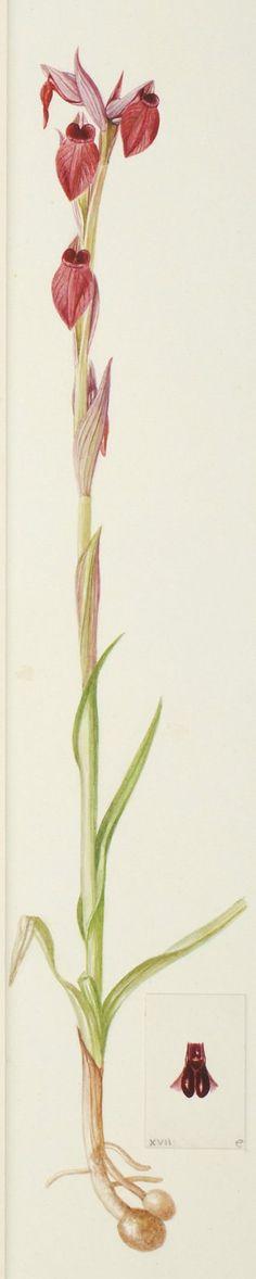 Serapias lingua × cordigera   1939