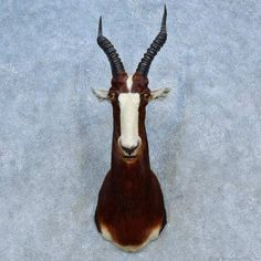 This gorgeous Blesbok taxidermy mount is for sale @thetaxidermystore.com