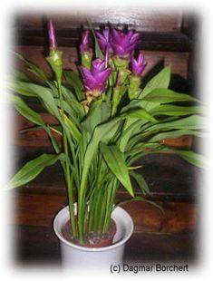 ampelpflanze welche auch als zebrakraut bekannt ist pflanzen f r garten und zimmer. Black Bedroom Furniture Sets. Home Design Ideas