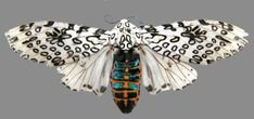 Giant Leopard Moth | giant leopard moth and who will become this