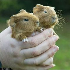 Guinea Pig babies, sweetest ever!