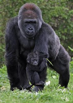 Gorilla mother and baby.