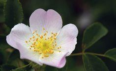 La rosa mosqueta, el aceite natural más efectivo para la piel