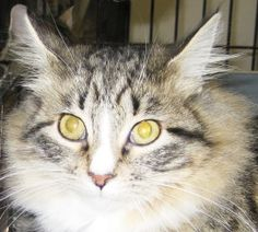 Sadie is an adoptable Maine Coon Cat in Alden, IA. Sadie is a beautiful long haired cat who arrived with her siblings. Since she has been at the shelter, her personality has really blossomed and she i...