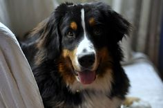 • Cleopatra, my love - Bernese mountain dog - 10 months old