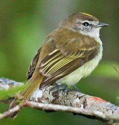guaracava-de-penacho-amarelo_Myiopagis flavivertex Brazilian Birds
