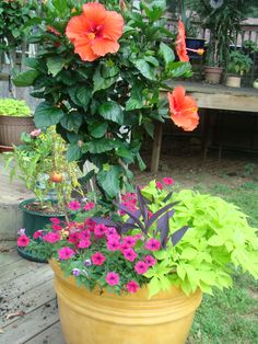 Hibiscus with flower arrangement in 20 in planter with sweet potato vine and petunias