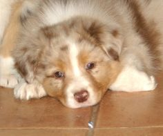 Awwwww...I think Australian shepherds are the most adorable puppies!