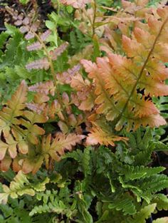 http://garlandnursery.files.wordpress.com/2011/09/autumn_fern.jpg