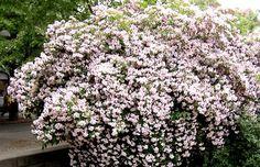 Paradisbuske i blom
